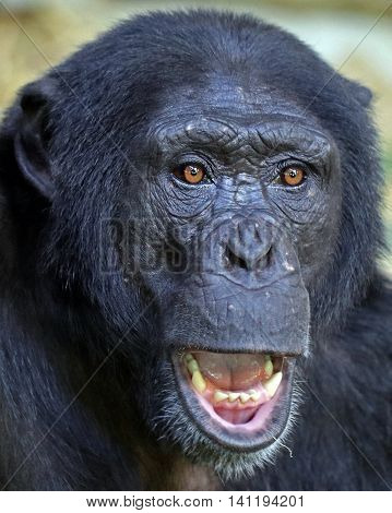A young male chimpanzee with open mouth