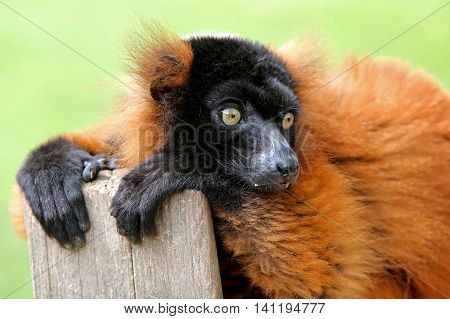 A Red lemur with a green background