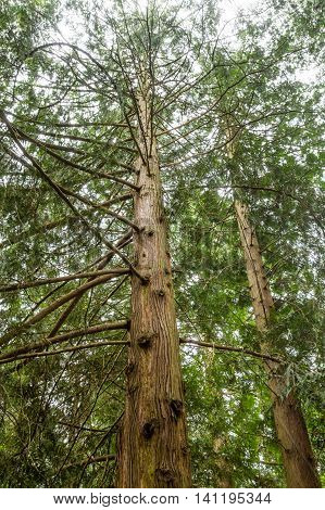 Redwood Trees Rising into Sky in Canadian Forest
