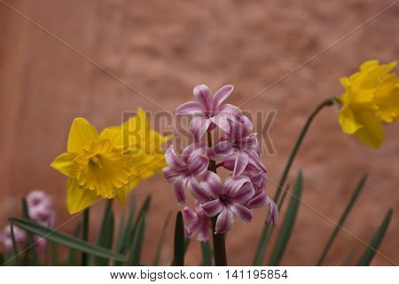 Yellow daffodils and hyacinth flower in April with brown wall