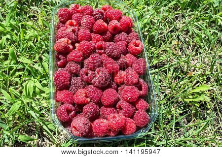 Raspberry Fruit in a Basket on the Lawn. Freshly-picked fruits raspberries in a basket of half a kg on the lawn.