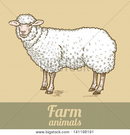 Farm animal sheep. Colored print. Style vintage engraving. Vector illustration of a series - farm animals isolated. Template for creating packaging design farm products signage natural food stores.