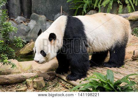 Panda bear eating bamboo tree seen in singapore