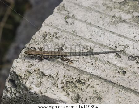 Common wall lizard on stone close-up portrait selective focus shallow DOF