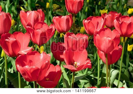 Vibrant Colors Tulips Everywhere