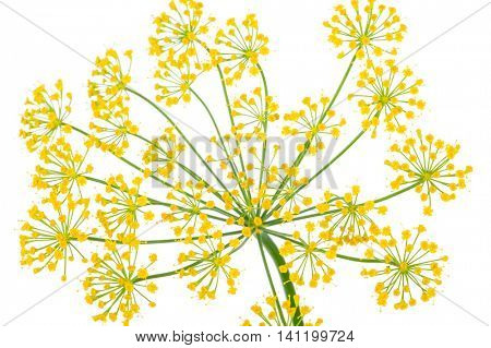 Dill Umbel Isolated