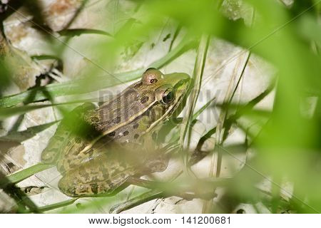 Wood frog behind a grass in the springtime