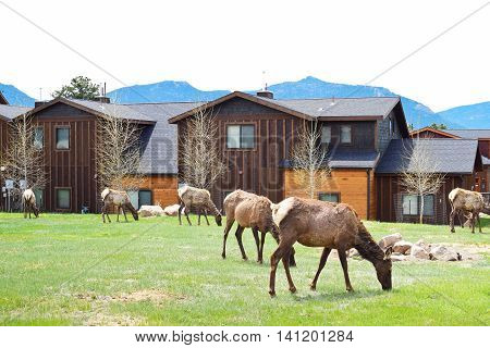 Elks grazing on grass in Estes Park in Colorado