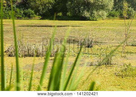 Scenic of a swamp in summer. Near Novi Sad, Serbia