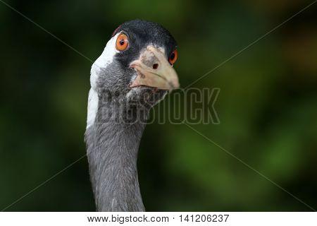 A close up of a Crane bird