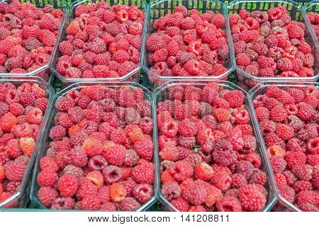 Freshly-picked fruits raspberries in eight baskets of half a kg in crates on the lawn