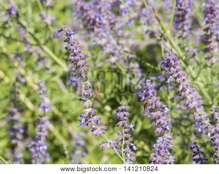 Russian Sage Perovskia atriplicifolia flowers close-up selective focus shallow DOF