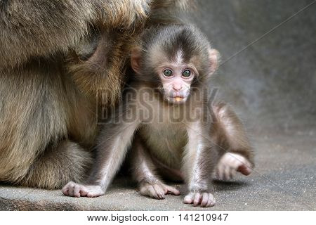 A Japanese monkey baby sitting close to her mother