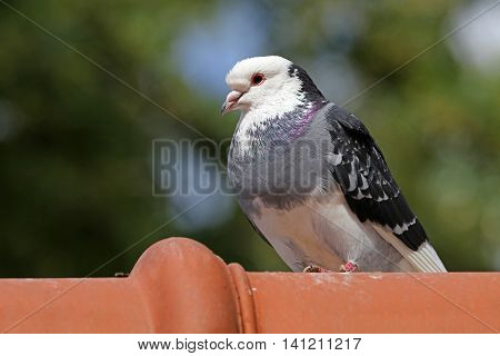 Pigeon sitting on a roof with green trees in the background