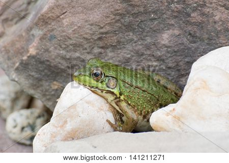 Bullfrog sitting on a rock in a swamp.