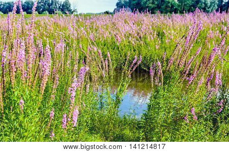 Many purple Loosestrife or Lythrum salicaria plants brightly blossoming on the banks of a natural pond. In the background is the dike of the Dutch polder.