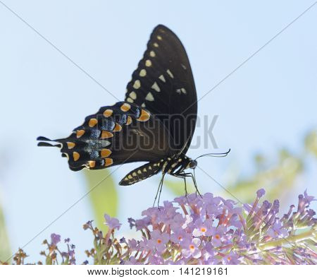 A Spicebush Swallowtail (Papilio Troilus) butterfly shown in profile gathering nectar.
