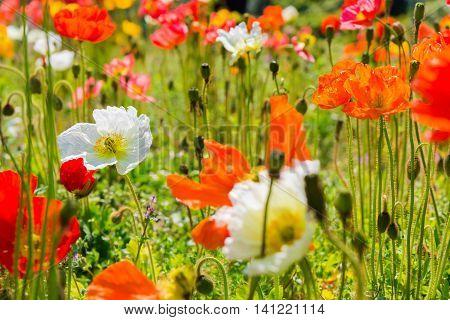 Beautiful Flower Garden Of A Iceland Poppy Flower.
