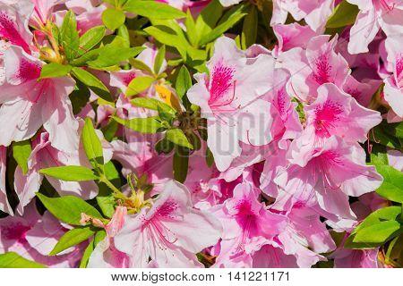 Pink Satsuki Azalea Flower (azalea Rhododendron).