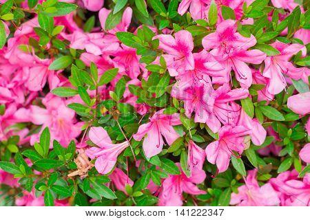 Pink Satsuki Azalea Flower (azalea Rhododendron) In Nature.