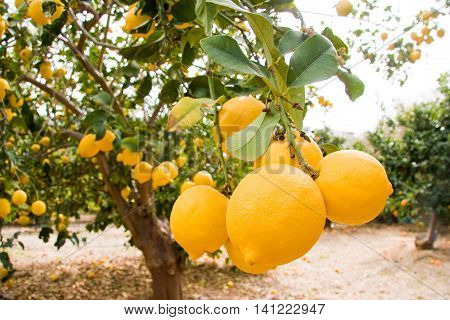 Lemon fruit on tree- Pomos Paphos district Island of Cyprus. Photo taken in March 2008 in Pomos Paphos district Island of Cyprus