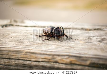 beetle giant rhinoceros on a wooden surface close-up