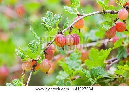 Red Gooseberries On Branch