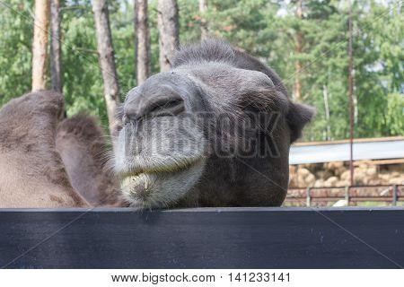 camel face portrait closeup summer day outdoors