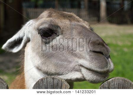 funny lama animal face portrait close up