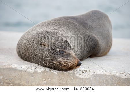 Australia Fur Seal Close Up Portrait While Relaxing
