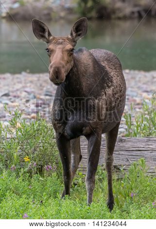Female Moose Stands In Green Brush
