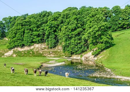 Cattle grazing in green field next to River Bela in Cumbria, England on sunny day with blue skies.