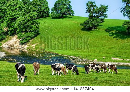 Grazing cattle in green field next to River Bela in Cumbria, England on sunny day.