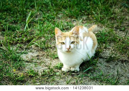 red cat with white spots with beautiful green eyes is sitting on the grass