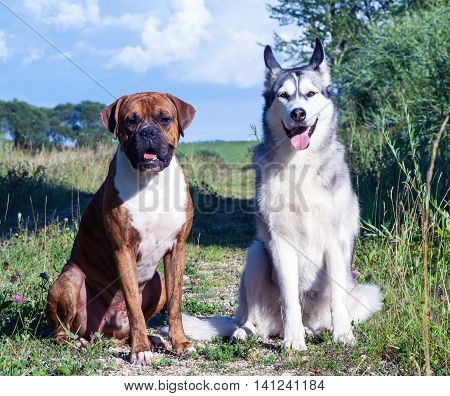 two dogs, alaskan malamute and german boxer in nature sunny evening sitting next to a gravel road and look at the camera, summer, blue sky with white clouds, green grass with flowers in the background