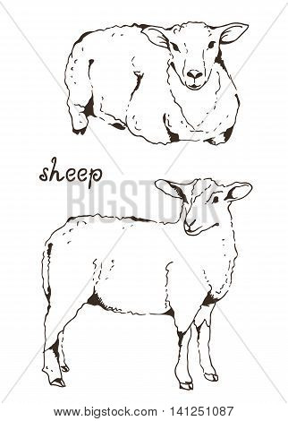 Two Sheep With Thick Fur Vector Illustration On White Background