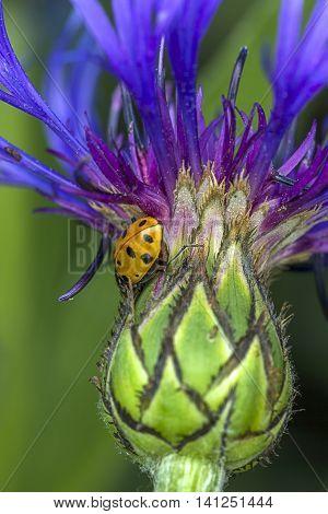 Ladybug on flower. A ladybug on a Montana Cone Flower.
