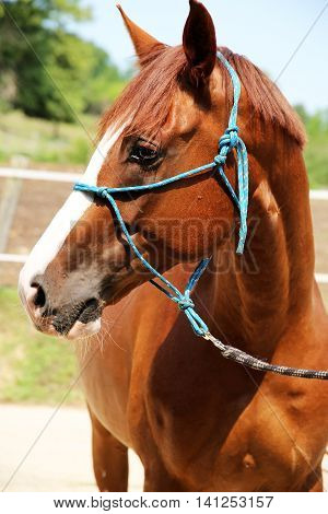 Purebred young hungarian gidran horse standing at rural horse farm