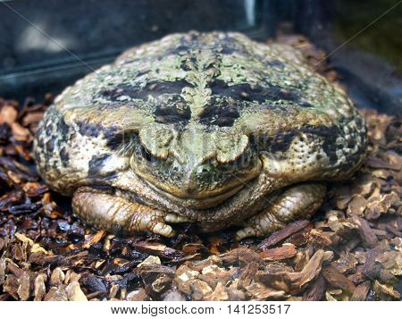 Large amphibious frog - Latin name
