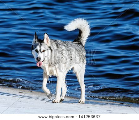 one adult dog breed alaskan malamute, wet after swimming, walking on a concrete slab, the background is very bright blue water, sunny evening, summer,  looking directly at the camera