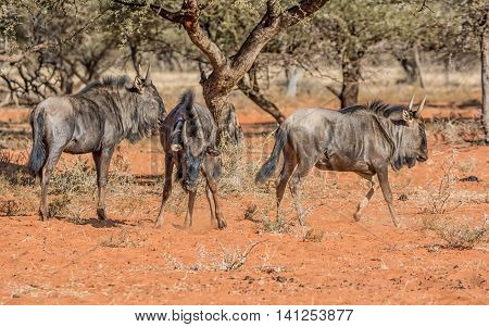 Juvenile Blue Wildebeest in Southern African savanna