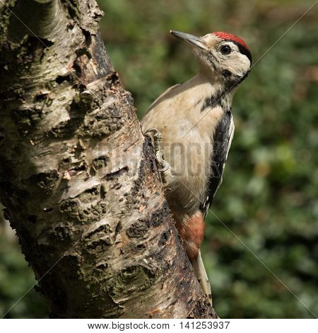 A juvenile great spotted woodpecker perched on a trunk in square format