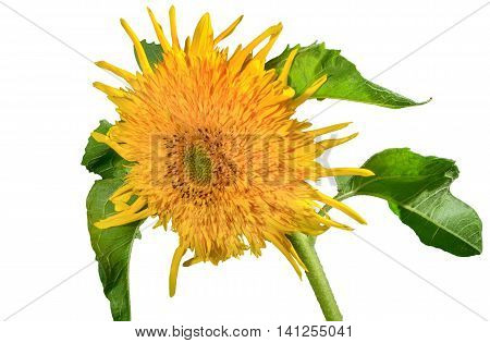 a flower picture decorative sunflowers on a white background