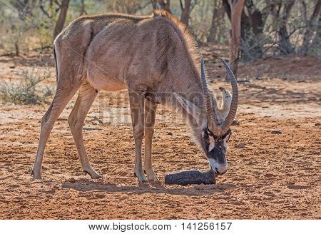 A Roan antelope making use of a mineral block in Southern African savanna