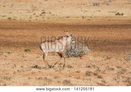 A juvenile Roan antelope in Southern African savanna