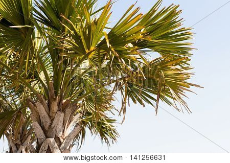 Palm Tree on Myrtle Beach East Coastline at the Boardwalk Close up View