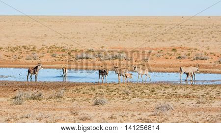 Roan antelope at a watering hole in Southern African savanna