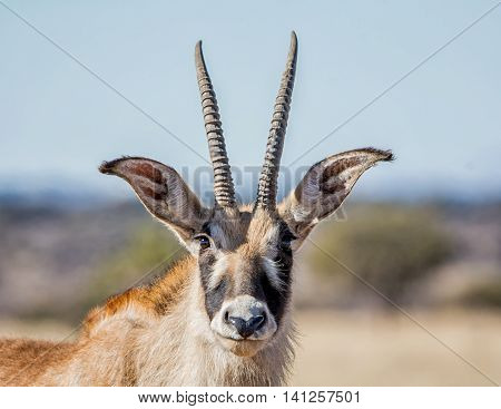 Portrait of a Roan Antelope in savanna in Southern Africa