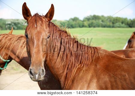 Side view portrait of a young chestnut horse aganst green pasture