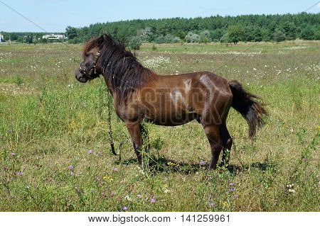 Small bay horse (pony) grazing in a meadow on a summer day.